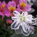 写真: 仲秋の庭/ハツユキソウとアルストロメリア