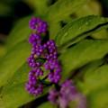 写真: 雨の午後/煙る紫