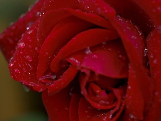 写真: 雨の午後/薔薇の涙