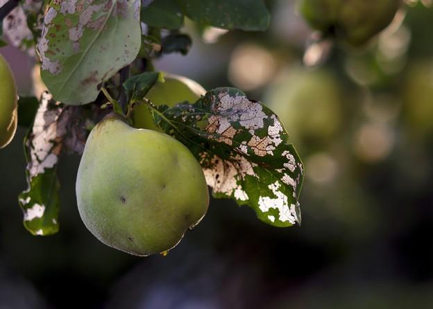 写真: 過日の果実/マルメロ