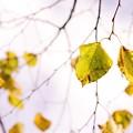 写真: 「一葉落ちて天下の秋を知る」