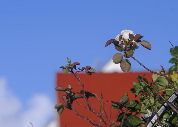 Photos: 冬日和/赤い屋根と白い薔薇