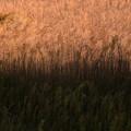 写真: 朝の草むら