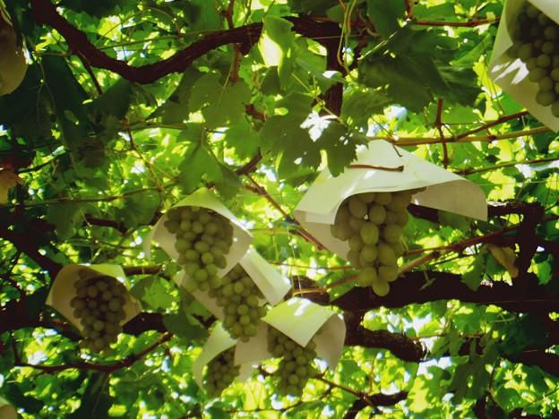 05-原茂ワイン庭のブドウ