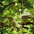 写真: 05-原茂ワイン庭のブドウ