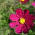 写真: 赤紫のコスモス。