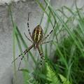 写真: 大きい蜘蛛