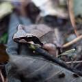 枯れ葉色のタゴガエル