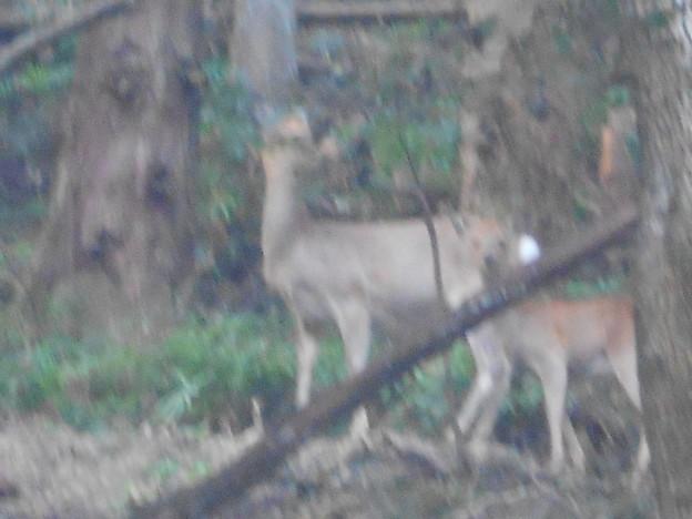群馬県 南牧村 鹿が私を見てる。