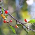 写真: 秋ぐみの季節