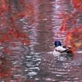 写真: 紅葉池