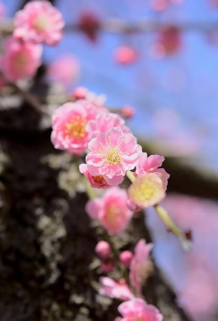 枝垂れ梅の春便り