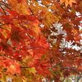写真: 葉が落ちないうちに・・