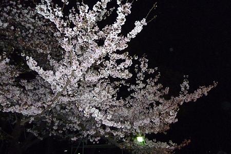 上野の夜桜 遠景