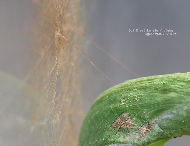 さすがに糸も太く織る。(ナガサキアゲハ)