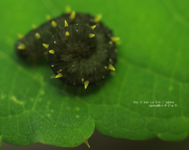 ハバチの子。(オオコシアカハバチの色違い)