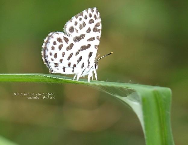 肉食蝶ゴイシジミちゃん。