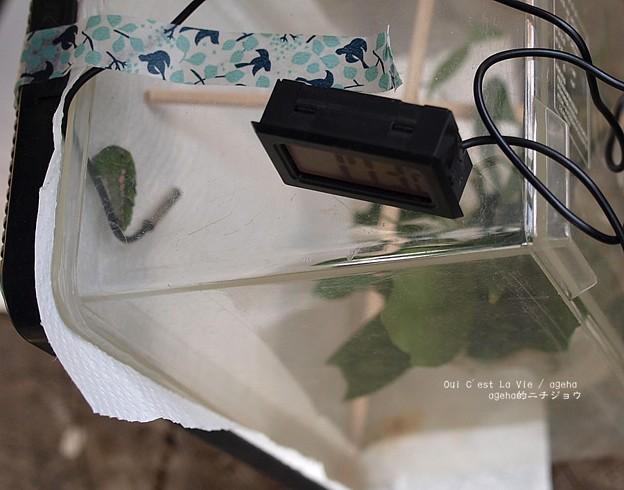 写真: 温度計で蛹化したひと。(ナミアゲハ飼育越冬)