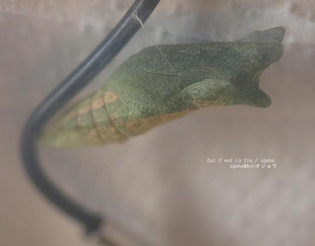 写真: 蛹になったヨ。(ナミアゲハ飼育越冬)