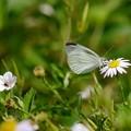 写真: 野花と紋白蝶
