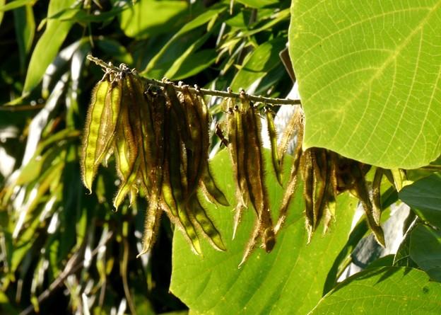 葛の豆(種)