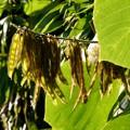 写真: 葛の豆(種)