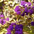 写真: 紫の宝石