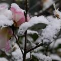 写真: 山茶花にも雪