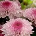 写真: 寒菊
