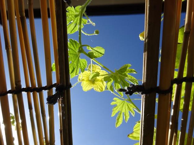 澄んだ青空とゴーヤの花