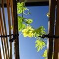 Photos: 澄んだ青空とゴーヤの花