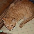 写真: 2008年11月07日の茶トラのボクちん(4歳)