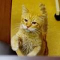 写真: 2011年11月07日の茶トラのボクちん(7歳)