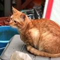 写真: 2008年11月09日の茶トラのボクちん(4歳)