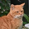 写真: 2011年11月15日の茶トラのボクチン(7歳)