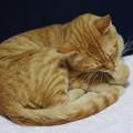 写真: 2009年11月17日の茶トラのボクちん(5歳)