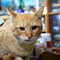 写真: 2008年11月24日の茶トラのボクちん(4歳)