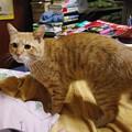 写真: 2008年11月29日の茶トラのボクチン(4歳)