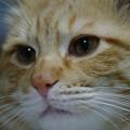 写真: 2008年12月01日の茶トラのボクちん(4歳)