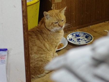 2011年12月13日の茶トラのボクチン(7歳)
