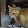写真: 2011年01月04日の茶トラのボクチン(6歳)