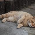 写真: 2009年01月08日の茶トラのボクチン(4歳)