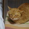 写真: 2010年01月23日の茶トラのボクチン(5歳)