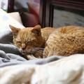 写真: 2012年01月29日の茶トラのボクチン(7歳)