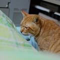 写真: 2011年02月02日の茶トラのボクチン(6歳)