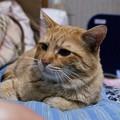写真: 2009年02月05日の茶トラのボクチン(4歳)