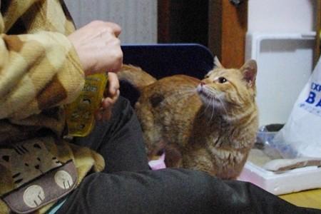 2009年02月05日の茶トラのボクチン(4歳)