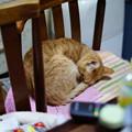 写真: 2011年02月09日の茶トラのボクチン(6歳)