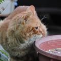 写真: 2010年02月20日の茶トラのボクチン(5歳)