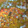 写真: 菊ちゃんモミジ^^(今年のアップは今日で最後に、鳥でトリ♪)